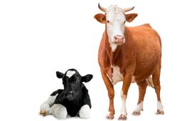 Велика рогата худоба
